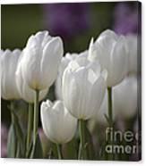 White Tulips 9169 Canvas Print