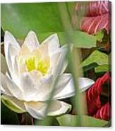 White Water Lilly Or Lotus Flower Canvas Print