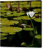 White Water Lily Uncropped Canvas Print