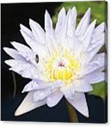 White Waterlily With Fly...   # Canvas Print