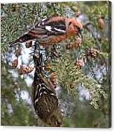 White-winged Crossbills Canvas Print