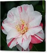White With Pink Camellia Canvas Print