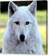 White Wolf Close Up Canvas Print