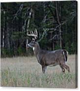 Whitetail Buck 1 Canvas Print