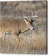 Whitetail Buck On The Move Canvas Print