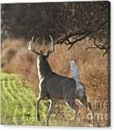 Whitetail Buck Rut Canvas Print