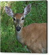Whitetail Portrait In Valley Forge National Park Canvas Print