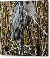 Who Is There - Great Blue Heron Canvas Print