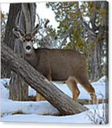 Who Me?  Oh Deer Canvas Print