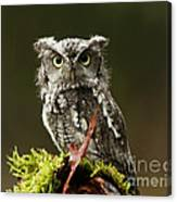 Whooo Goes There... Eastern Screech Owl  Canvas Print