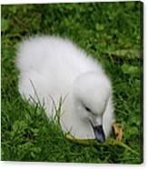 Whooper Swan Juvenile  Canvas Print