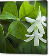 Whtie Clover Flower Canvas Print