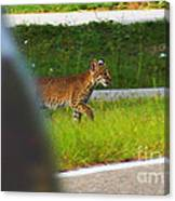 Why Did The Bobcat Cross The Road Canvas Print