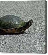 Why Did The Turtle Cross The Road Canvas Print
