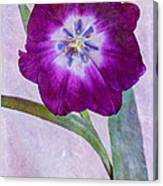 Wide Open Tulip Canvas Print