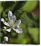 Wild Alabama Blackberry Blossom Canvas Print