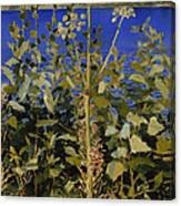 Wild Angelica Canvas Print