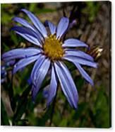 Wild Aster Flower Canvas Print