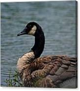 Wild Beauty - Canadian Goose Canvas Print