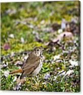 Wild Birds Hermit Thrush Canvas Print