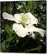 Wild Blackberry Blossom Canvas Print