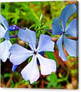 Wild Blue Phlox Near Hastings-michigan   Canvas Print