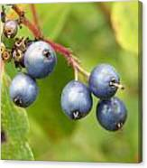 Wild Blueberries Canvas Print
