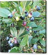 Wild Blueberry Bush Canvas Print