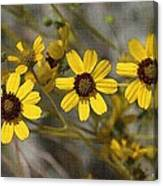 Wild Brittle Bush Flowers Canvas Print
