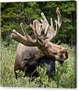 Wild Bull Moose Canvas Print