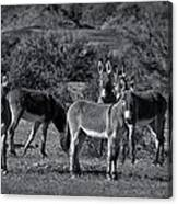 Wild Burros In Black And White  Canvas Print