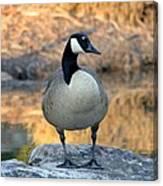 Wild Canadian Goose Canvas Print