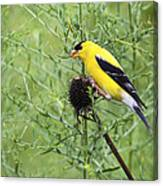 Wild Canary Bird Closeup Canvas Print
