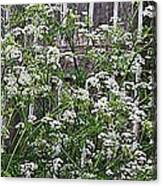 Wild Caraway And Old Fence Canvas Print