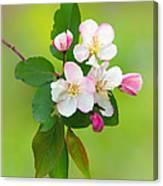 Wild Cherry Blossoms Canvas Print