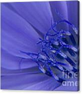 Wild Chicory Macro Canvas Print