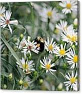 Wild Daisies And The Bumblebee Canvas Print
