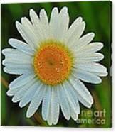 Wild Daisy With Dew Canvas Print