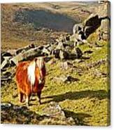 Wild Dartmoor Pony Canvas Print