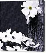 Wild Dogwood Blooms Canvas Print