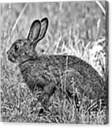 Wild Hare Canvas Print