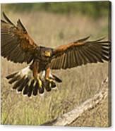 Wild Harris Hawk Landing Canvas Print