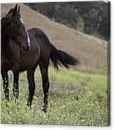 Wild Horse Mare Canvas Print