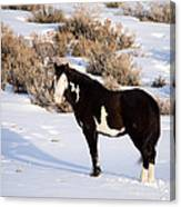 Wild Horse Stallion Canvas Print