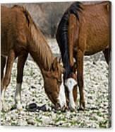 Wild Horses Grazing  Canvas Print