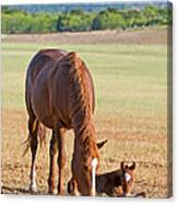 Wild Horses Mother And Baby Canvas Print