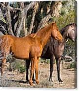 Wild Horses Of Joshua Tree Canvas Print