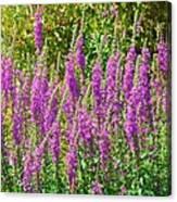Wild Lavender Flowers Canvas Print