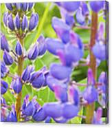 Wild Lupine Flowers Canvas Print