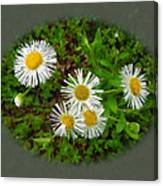 Wild Miniature Daisies Canvas Print